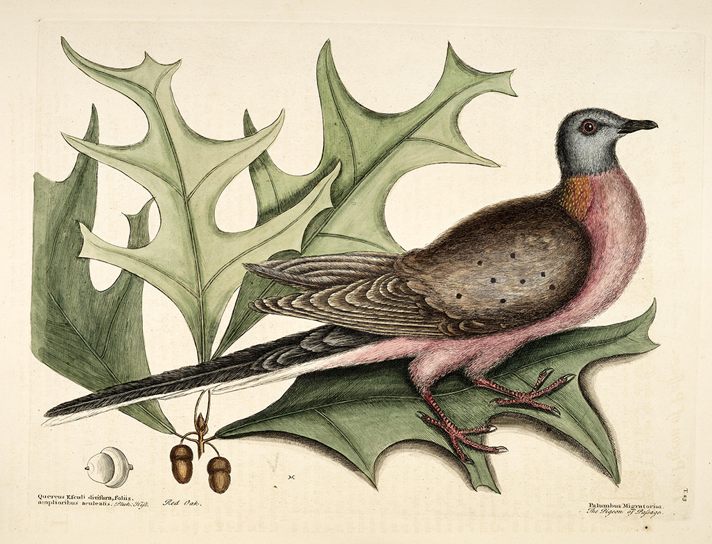 Pigeon of Passage - Plate 23 in Volume 1 of The Natural History of Carolina, Florida and Bahamas by Mark Catesby, George Edwards published in 1754