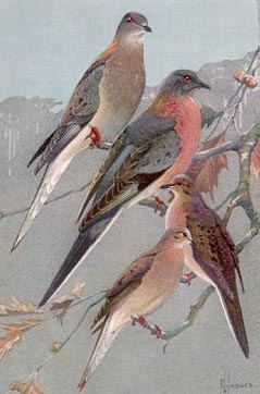 Birds of Minnesota. Bird portraits in color, plate 41. Passenger Pigeons and Mourning Doves