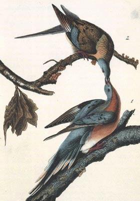 Passenger Pigeon - N.57 Plate 285. Drawn from nature by J.J. Audubon.