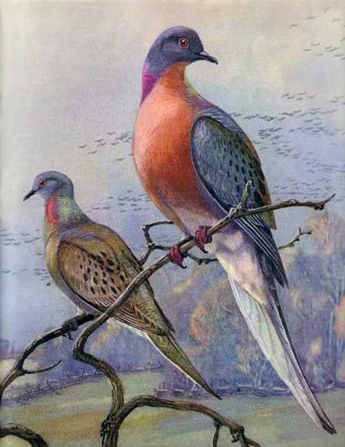Passenger Pigeons par Allen Brooks. Exposé au Royal Ontario Museum, à Toronto.