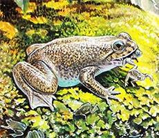 grenouille à incubation gastrique