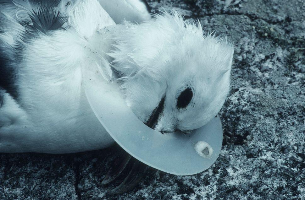 goéland victime du plastique