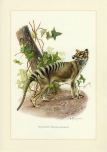 thylacine par Beutelwolf