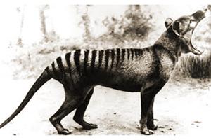 Le thylacine