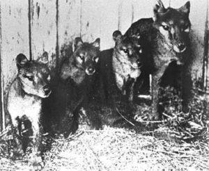 portée de thylacines