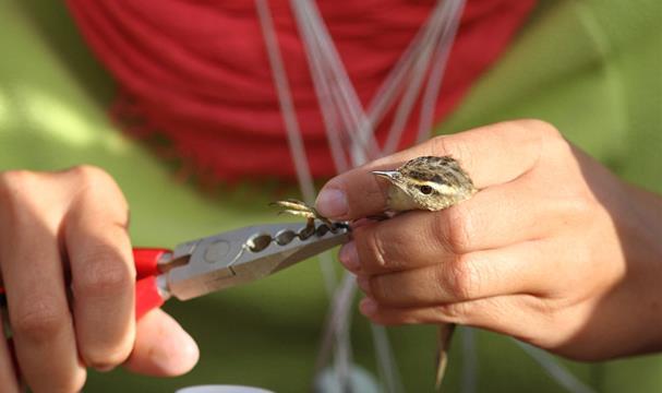 baguage des oiseaux