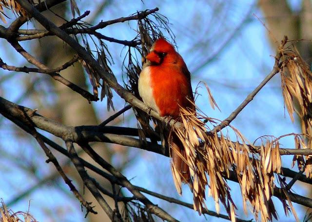 cardinal à deux couleurs