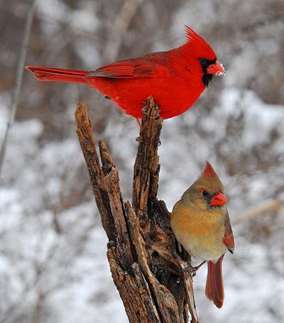 cardinal, mâle et femelle
