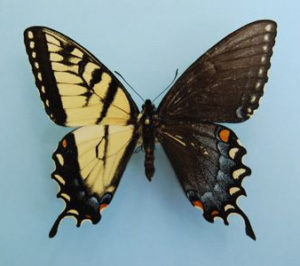gynandromorphisme chez le papillon